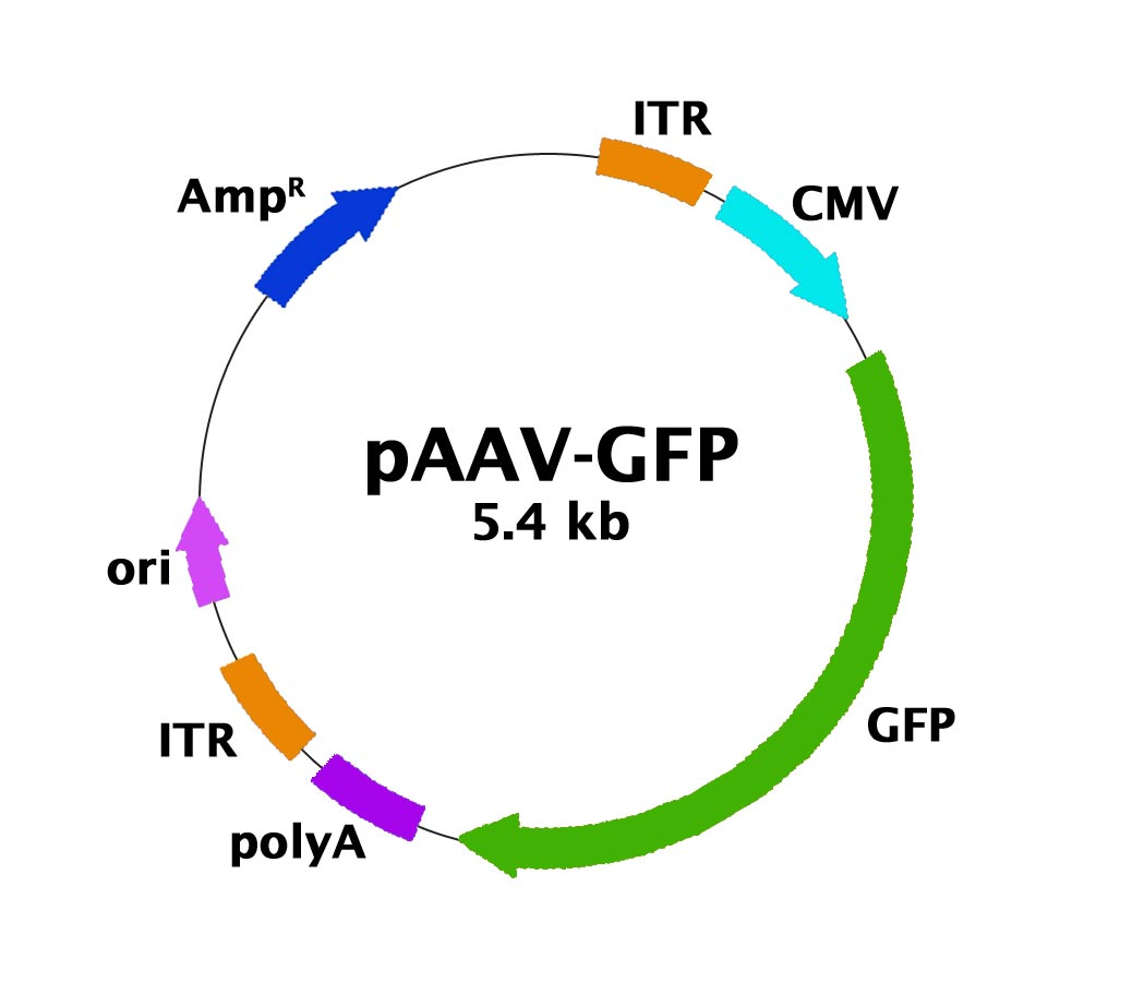 map of plasmid with Paav Gfp Control Plasmid on 20670 besides 31527 likewise Vectortable furthermore 154516 in addition 51.
