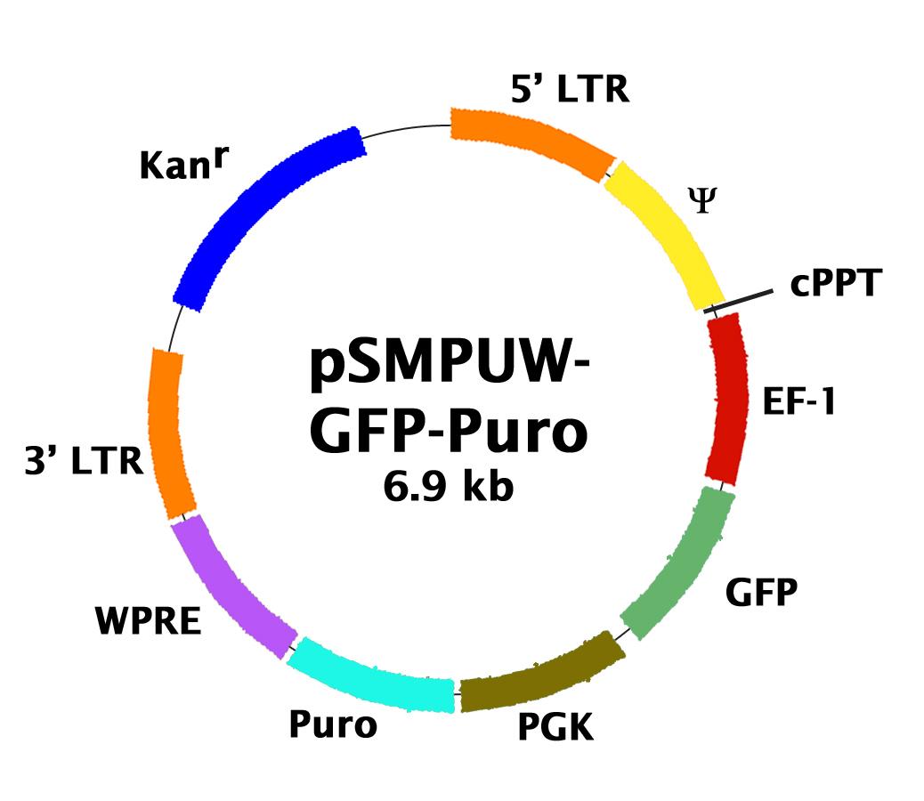 Gfp Puro Lentiviral Control Vector Cell Biolabs Inc