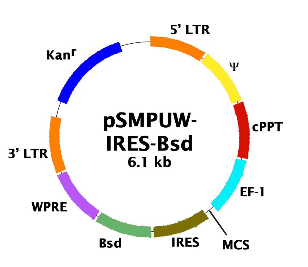 Lentiviral Bicistronic Expression Vector Ires Bsd Cell