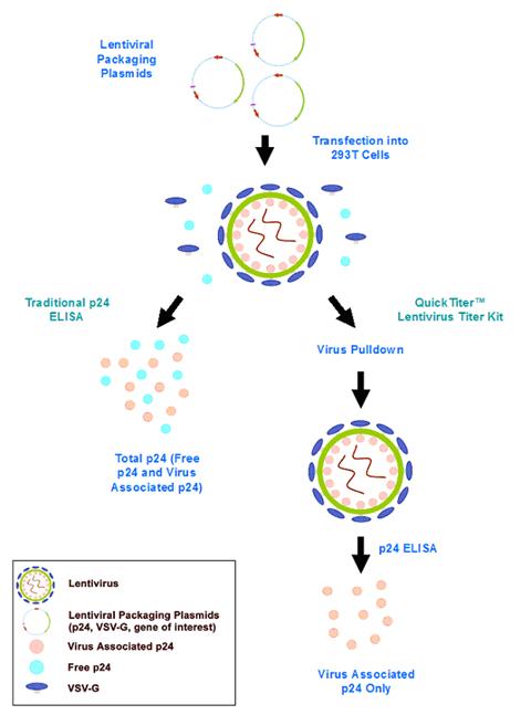 Lentivirus Associated P24 ELISA Kit