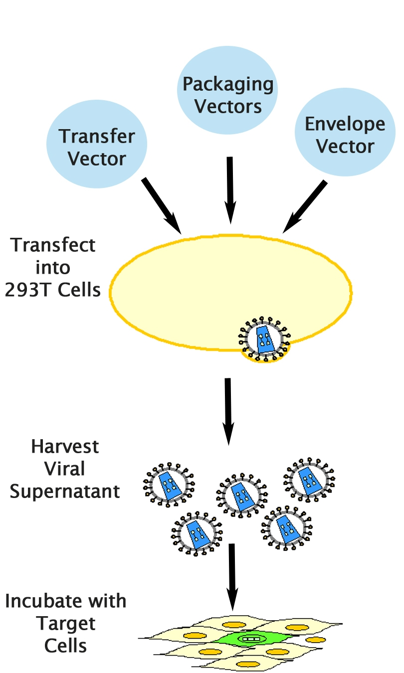 Pantropic Lentiviral Expression System Puro Cell